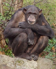 Chimp (pd)